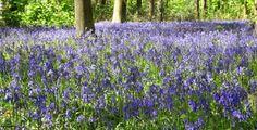 hyacinthoides-non-scripta Backyard, Infants, Garden Ideas, Image, Young Children, Patio, Backyards, Babies, Babys