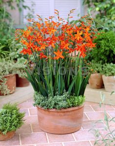 Crocosmia Masonorum – Easy To Grow Bulbs Different Flowers, Easy To Grow Bulbs, Crocosmia, Flowers Perennials, Flower Pots, Plants, Container Plants, Shade Garden, Landscaping Plants