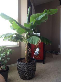Indoor banana tree!! I can't wait for fresh bananas!!!