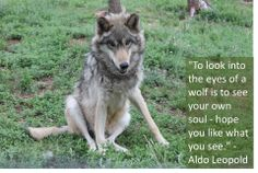 To Look Into the Eyes of a Wolf is to See Your Own Soul...Hope You Like What You See--Aldo Leopold--Colorado Wolf and Wildlife Center Photo