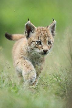 Desert Lynx cub running.