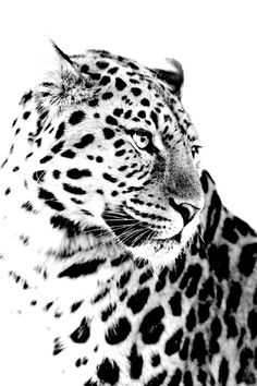 The Golden Year Collection Big Cats Art, Cat Art, Animal Sketches, Animal Drawings, Beautiful Cats, Animals Beautiful, Animals And Pets, Cute Animals, Wild Animals