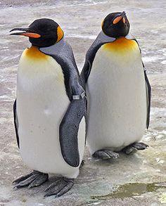 Королевский пингвин (лат. Aptenodytes patagonicus Miller,JF, 1778) — нелетающая птица из семейства пингвиновых (Spheniscidae) .Королевский пингвин похож на императорского пингвина, но немного мельче его размерами и ярче окраской. Длина тела королевского пингвина составляет от 91 см до 1 м.гнездится на островах Огненная Земля, Южная Георгия, Южные Сандвичевы острова, Принс-Эдуард, Острова Крозе, Кергелен, Херд, Маккуори.