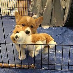 Everything we all like about the Pembroke Welsh Corgi Puppy Cute Corgi Puppy, Corgi Dog, Cute Dogs And Puppies, Baby Dogs, Funny Puppies, Funny Dogs, Cute Little Animals, Cute Funny Animals, Chien Shiba Inu