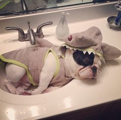 Manny the frenchie loves to sleep in his Martha Stewart Pets shark hoodie #marthastewartpets #petsmart
