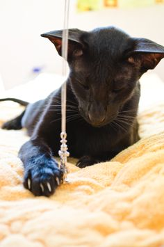 Usyaka and Pirate | Photos of the Oriental Shorthair cat Usyaka ...