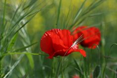 poppy, strong and yet so fragile...