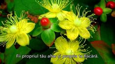 Yellow flowers with a cherry Yellow Flowers, Plants, Cherry, Gardens, God, Youtube, Roses, Dios, Outdoor Gardens