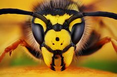 Vespula Germanica - Insect Macro Photography