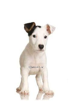 Terie Jack Russell (Jack Russell Terrier)