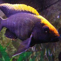African Cichlids-Malawi Cichlids Online Supplier- Aquatics to your Door Cichlid Aquarium, Ocean Aquarium, Cichlid Fish, Live Aquarium Fish, Tropical Freshwater Fish, Freshwater Aquarium Fish, Tropical Fish, Malawi Cichlids, African Cichlids