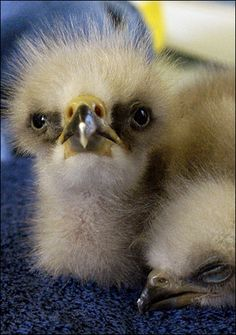 Baby Bald Eagles ~ Jehovah likens us to baby eagles who are fiercely protected by Him (by means of angels). See Psalm 91:9-12