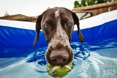 german shorthaired pointer in pool