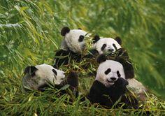#panda #pandas Giant Panda, Chengdu, China