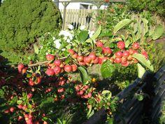 Paradisæbletræ, små æbler ødelægger ikke græsplænen, opskrift på snaps