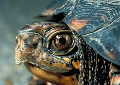 How to care for a box turtle you've rescued. Feeding, housing, and general box turtle care tips. Land Turtles, Cute Turtles, Box Turtles, Turtle Care, Pet Turtle, Box Turtle Habitat, Eastern Box Turtle, Turtle Homes, Tortoise Turtle