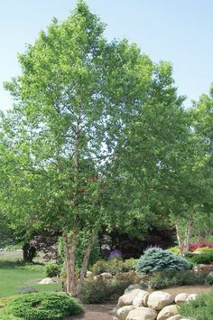 Buy River Birch Tree - FREE SHIPPING - Betula Nigra For Sale Online From Wilson Bros Gardens Rain Garden, Garden Oasis, Birch Trees For Sale, Trees To Plant, Fruit Trees, Betula Nigra, Garden Shrubs, Large Plants, Front Yard Landscaping