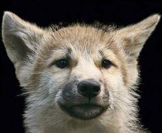 wolf, lobezno
