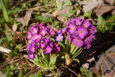 Esikot | Vesan viherpiperryskuvat – puutarha kukkii