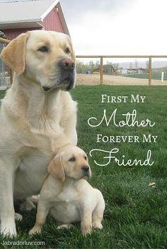 Labrador Quotes, My Friend, Labrador Retriever, Cute Animals, Labs, Friends, Labrador Retrievers, Pretty Animals, Cutest Animals