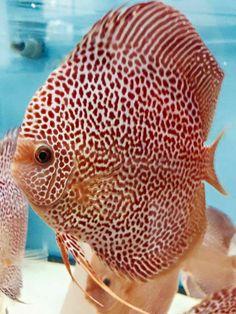Diskus Aquarium, Cichlid Aquarium, Tropical Fish Aquarium, Tropical Freshwater Fish, Freshwater Aquarium Fish, Underwater Creatures, Ocean Creatures, Aquariums, Acara Disco