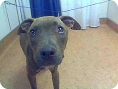 """A585942 is a young, female brown/chocolate-colored American Pit Bull Terrier who can be held at the Sac Co Animal Care and Regulation on Bradshaw Rd for only a short time. Please act quickly to adopt this precious pittie. Pet ID #:5206373-A585942  Phone:  (916) 368-7387   Let 'em know you saw """"A585942"""" on Adopt-a-Pet.com!"""