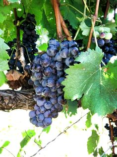 Cab Franc Grapes #wine