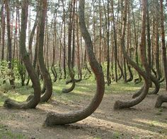 "The ""crooked forest"" in north western Poland. About 400 pine trees in a north western corner of Poland grow with a 90 degree bend in their trunks, yet they're surrounded by straight trees. The reason behind this phenomenon is still a mystery."