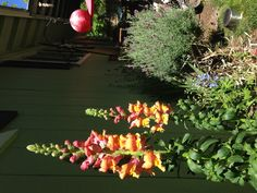 Pink, orange, yellow, all in one snap dragons