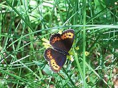 Idännokiperhonen - Erebia euryale euryale