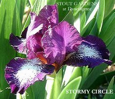 "(Barry Blyth 1996) SDB iris, 14"" (36 cm), EM. AUSTRALIA Flowers: S. solid bishops purple to purple violet; F. white, 1/2"" plicata edge matching S. color; beards white, tipped violet on outer 1/2"", tan"