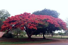Flamboyant tree in Bulawayo, Zimbabwe, Africa. Travel to Zimbabwe with INSPIRATION ZIMBABWE, your boutique Destination Management Company (DMC) for all inbound travel to Zimbabwe, Africa. INSPIRATION ZIMBABWE is a member of GONDWANA DMCs, a network of boutique DMCs across Africa and beyond. www.gondwana-dmcs.net