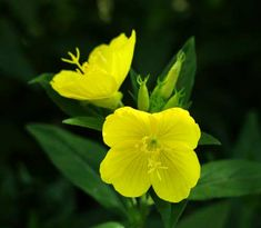 """These beautiful flowers are named """"evening"""" primrose because they bloom at night. Bright and fragrant, they attract bees, birds, and butterflies all summer long! Primrose Oil, Evening Primrose, Blossom Garden, Blossom Flower, Primroses, Garden Seeds, Natural Healing, Natural Skin, Herbal Remedies"""