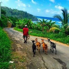 Farmer walking his goats in Jamaica. I wish that every time I walked my goats I have had this view