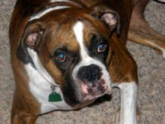 boxer dog photo | Boxers - Dogs Photo Gallery - Boxers Photos & Pictures