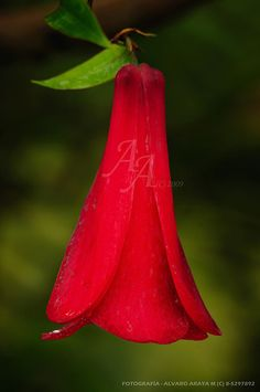 Copihue, Chile's National Flower.