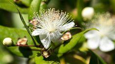 Myrte ( Myrtus communis)