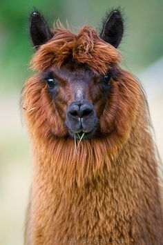 ALPACA: Multiple benefits...profitable without butchering, luxurious fur, small, poop in the same spot, smart and trainable, and they hummmmm. Google It!