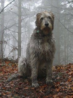 Irish wolfhound flickr by CioCioSan
