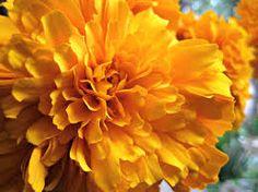 Cempasuchilt flower