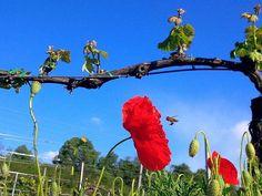 #Dettaglio della Festa della  Liberazione. #25aprile #valcalepio #campagna #vigneto #vigna #natura #papaveri #papaverirossi #ape #bee #poppies #nature #countryside #wineyard #vine #nofilter #nofilterneeded #details