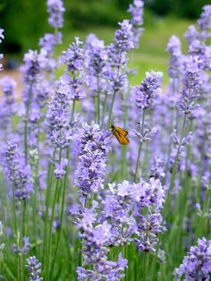 So many uses that I love for lavender!    Lavender Plants - Photo: Carlson familly