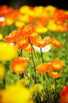 Orange & Yellow Poppies - Lovely !