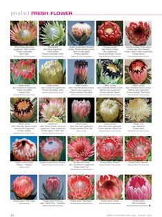 PROTEA ID chart to help you identify your favourite varieties when you order our protea flowers Tropical Flowers, Fresh Flowers, Colorful Flowers, Protea Bouquet, Protea Flower, Bouquets, Protea Plant, Flor Protea, Flower Chart