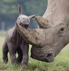 Tiny rhino calf http://africatriedandtested.com/