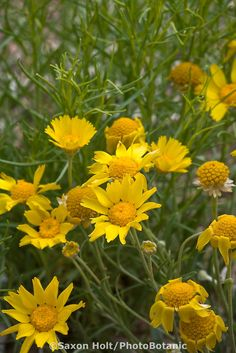 Hymenoxys argentea Perky Sue, yellow flower New Mexico native plant  which makes it even more special to me!