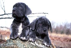Neapolitan Mastiff Ranging in size from 24 to 31 inches tall at the shoulder; Average weight is 150 pounds for males and 110 pounds for females.