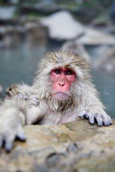 Nagano, Japan | Snow Monkey Park / Jennifer Chong {everyone MUST see these amazing snow monkeys!}