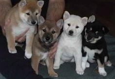 Husky & Shiba's!