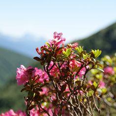 Alpenrosen - Rosa alpina